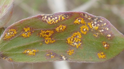 Leaf of broad-leaved paperbark on NSW's north coast infected with myrtle rust.