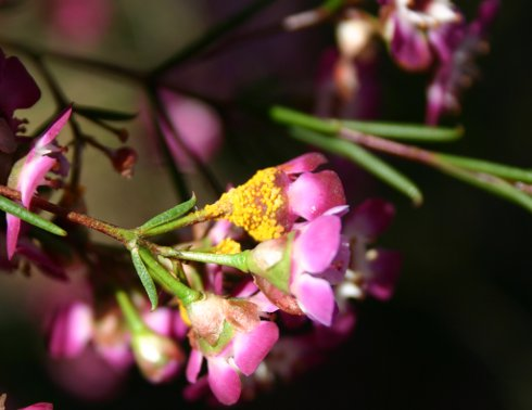 Flowers of Geraldton wax in Brisbane infected by myrtle rust. Geraldton wax is endemic to Western Australia but widely grown in gardens and for the cut flower trade.